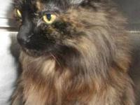 Maine Coon - Bailey - Medium - Adult - Female - Cat