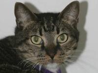 Maine Coon - Barbara Jean - Large - Adult - Female -