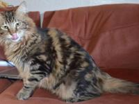 I am re-homing my parent's Beautiful Maine Coon Cat Her
