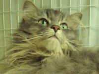 Maine Coon - Bella - Large - Adult - Female - Cat My