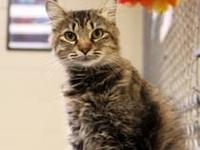 Maine Coon - Bella - Medium - Young - Female - Cat