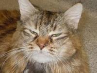 Maine Coon - Belle - Extra Large - Senior - Female -