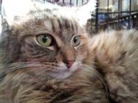 Maine Coon - Betsy - Medium - Adult - Female - Cat