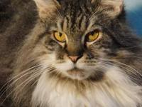 Maine Coon - Binky - Medium - Adult - Male - Cat Binky