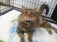 Maine Coon - Boo - Small - Senior - Male - Cat Boo is