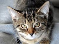 Maine Coon - Brownie - Small - Adult - Male - Cat reed: