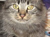 Maine Coon - Bullwinkle - Large - Adult - Male - Cat I