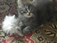 Loving wonderful babies, must see longhaired, 1st shots