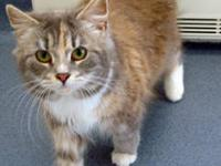 Maine Coon - Carmen - Small - Adult - Female - Cat