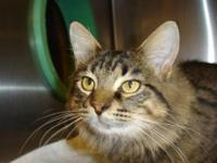 Maine Coon - Carson - Medium - Young - Male - Cat