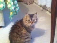 Robbie and Monie are beautiful Maine Coon Cats -