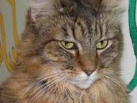 Maine Coon - Charm - Medium - Adult - Female - Cat