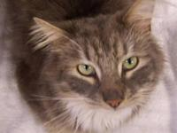 Maine Coon - Chloe - Large - Adult - Female - Cat Chloe