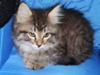 Maine Coon - Chloe - Large - Baby - Female - Cat EBD: