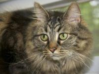 Maine Coon - Circe - Extra Large - Adult - Female -