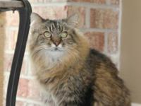 Maine Coon - Cloud - Small - Adult - Female - Cat Cloud