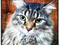 Maine Coon - Comet - Extra Large - Senior - Male - Cat