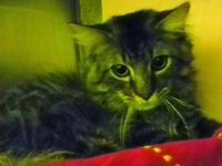 Maine Coon - Common - Small - Adult - Male - Cat