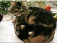 Maine Coon - ~courtesy- Delilah - Medium - Adult -