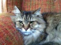 Maine Coon - Cupid - Large - Adult - Male - Cat Whew