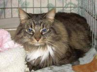 Maine Coon - Darcy - Medium - Adult - Female - Cat