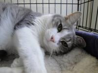 Maine Coon - Davina - Medium - Young - Female - Cat
