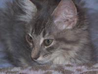 Maine Coon - Deja Bleu - Extra Large - Young - Female -