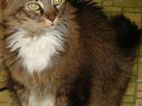 Maine Coon - Dutchess - Medium - Adult - Female - Cat