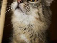 Maine Coon - Eddie - Medium - Adult - Male - Cat Eddie