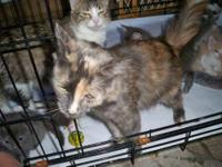 Maine Coon - Emily - Medium - Young - Female - Cat This