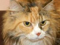 Maine Coon - Emma - Small - Senior - Female - Cat