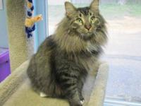 Maine Coon - Emmet - Small - Adult - Male - Cat