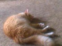 4yr old female Maine coon free to good home. Spayed,