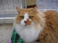 Maine Coon - Frank - Large - Adult - Male - Cat Frank