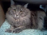 Maine Coon - Gatsby - Small - Baby - Male - Cat 6 mos