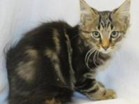 Maine Coon - Grayson - Small - Baby - Male - Cat All