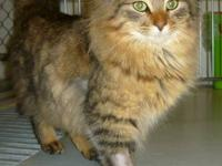 Maine Coon - Haley - Large - Adult - Female - Cat Haley