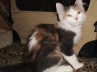 Maine Coon - Heather - Medium - Young - Female - Cat