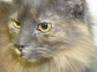 Maine Coon - Iolanthe - Large - Adult - Female - Cat
