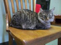 Maine Coon - Jack - Large - Adult - Male - Cat Jack is