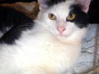 Maine Coon - Jerry & Tom - Medium - Baby - Male - Cat