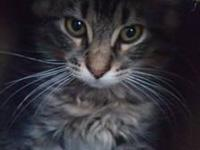 Maine Coon - Jimmy - Large - Baby - Male - Cat It's