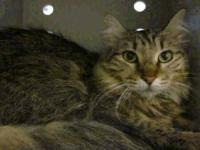 Maine Coon - Jimmy - Medium - Adult - Male - Cat All