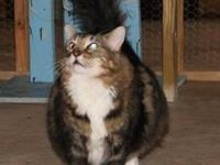 Maine Coon - Juliette - Medium - Adult - Female - Cat