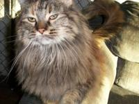Maine Coon - Kahli - Medium - Adult - Female - Cat
