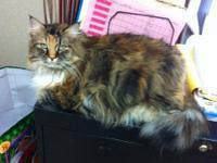 Maine Coon - Katie - Medium - Adult - Female - Cat