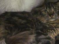 Maine Coon - Kiki - Medium - Adult - Female - Cat I am