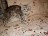 Maine Coon kitten, 11 weeks old, blue tabby with white,