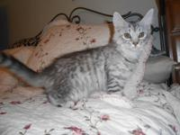 Maine Coon kitten, 3 months old, Parents CFA