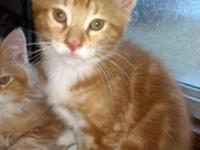 Classic Red Tabby with white.  MALE  Born
